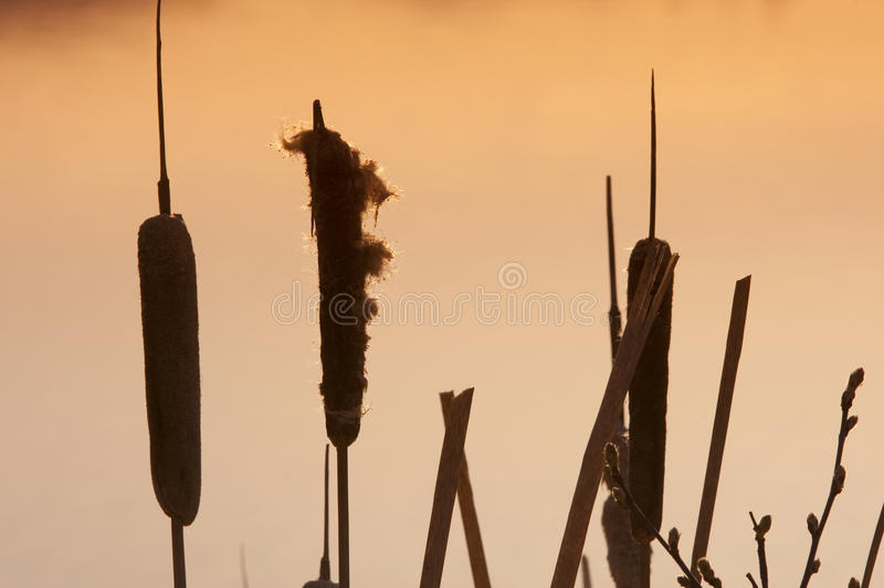 Download Cattails stock photo. Image of image, morning, silhouettes - 12479124