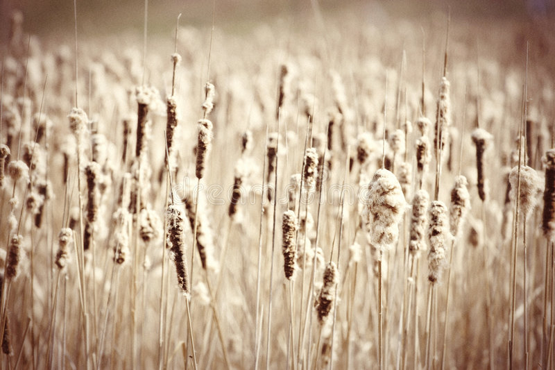 Download Cattails stock image. Image of plant, swamps, marshes - 5102867