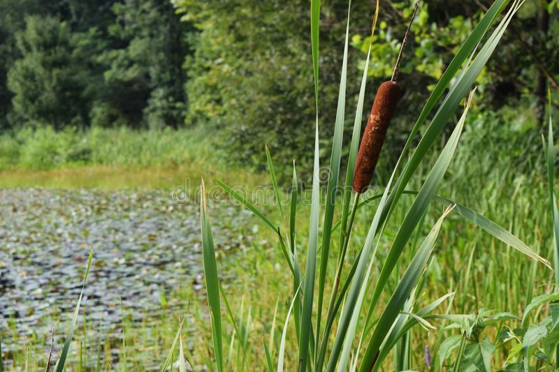 Cattails photos stock