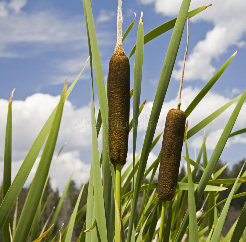 Free Cattails Along Waterway Stock Images - 13080904
