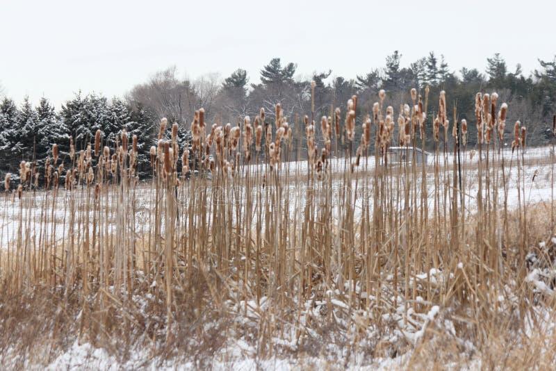 Cattails com neve imagens de stock