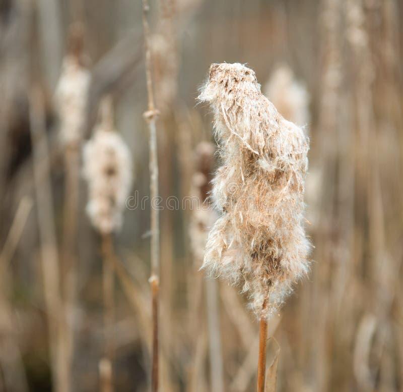 Cattails dans le défunt automne photo stock