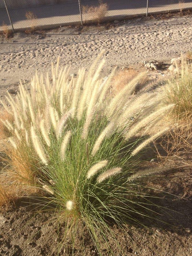 Cattails dans le désert photo libre de droits