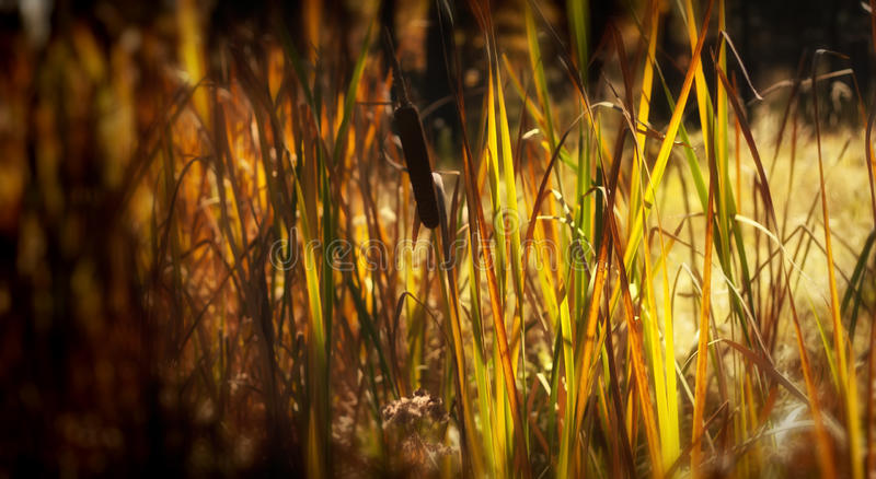 Cattails Detail royalty free stock images