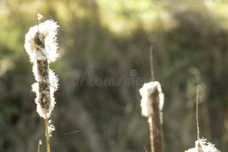 Cattails stockbild