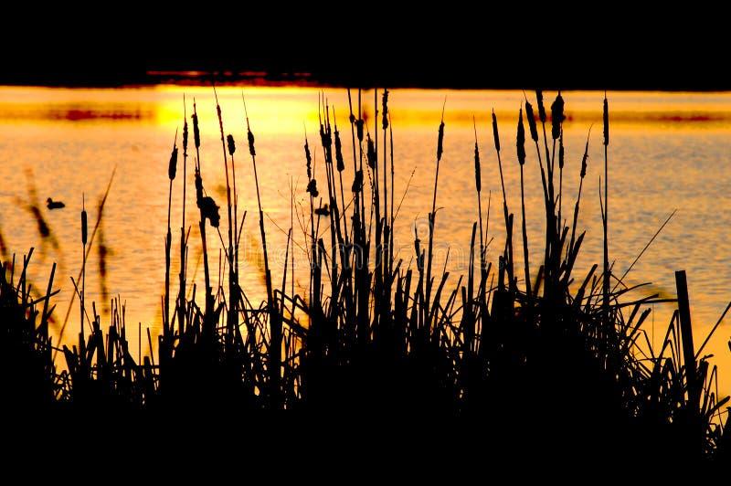Cattails durch einen See lizenzfreies stockfoto