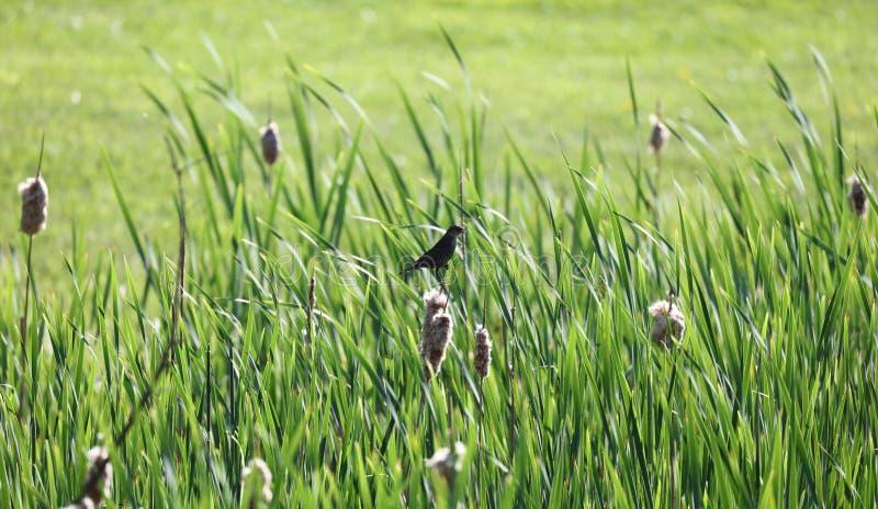 Cattails en groene installaties met een bruine vogel bij moerasland tijdens de zomer stock foto