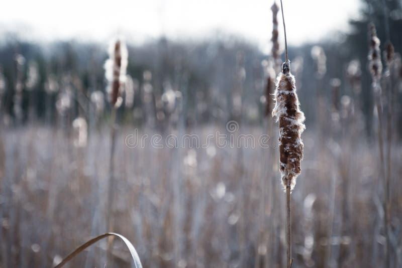 Cattails en un campo abierto imagen de archivo libre de regalías