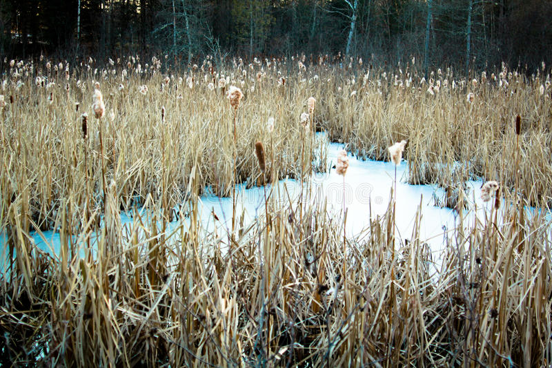 Cattails stock image