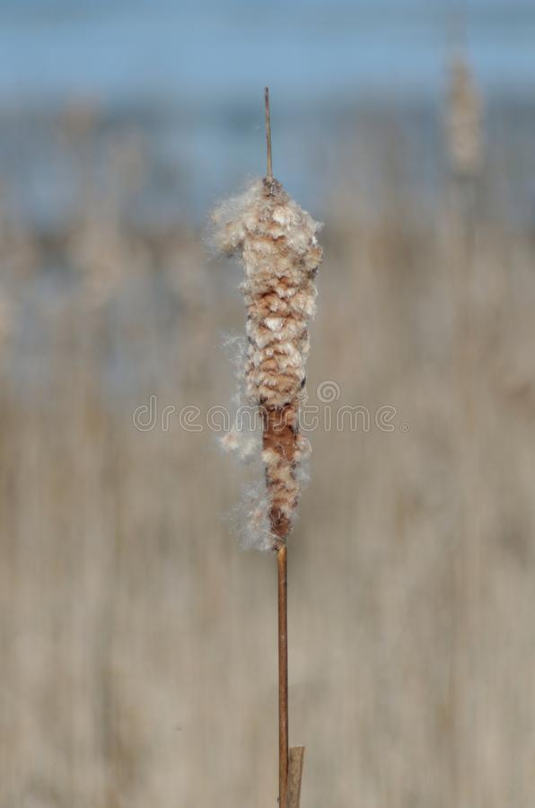Cattails in the Marsh stock images
