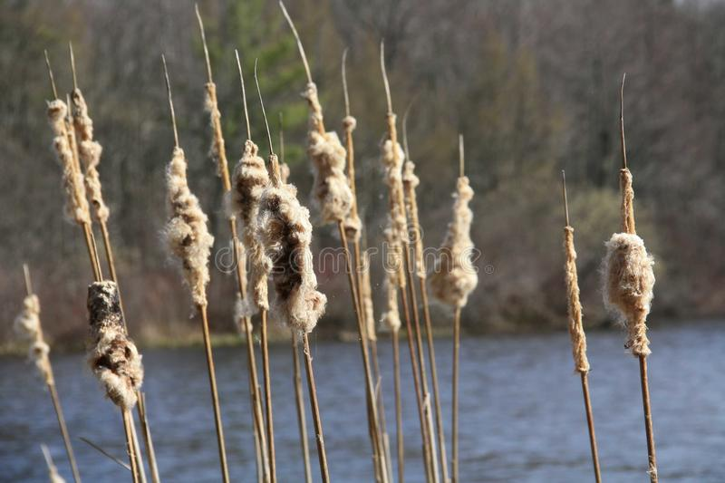 Cattails at the lake stock images