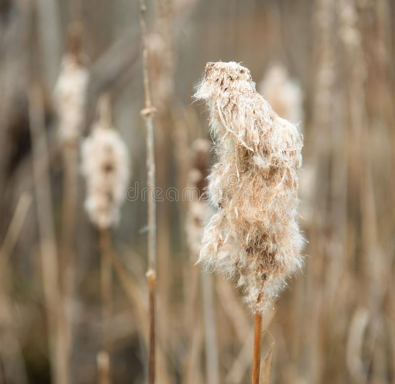 Cattails in Late Fall. At an Upstate NY arboretum stock photo