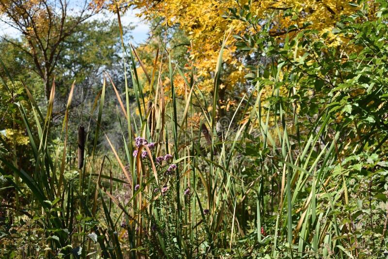 Cattails na parte dianteira com cores da queda na parte traseira em Kathryn Albertson Park imagens de stock