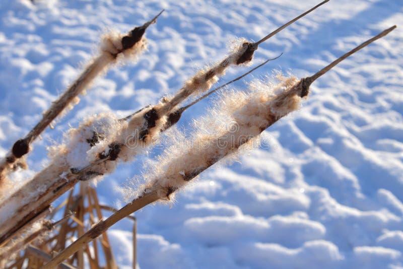 Cattails nell'inverno fotografia stock