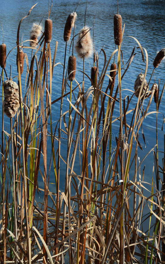 Cattails op Vijver in de Recente Herfst royalty-vrije stock foto's