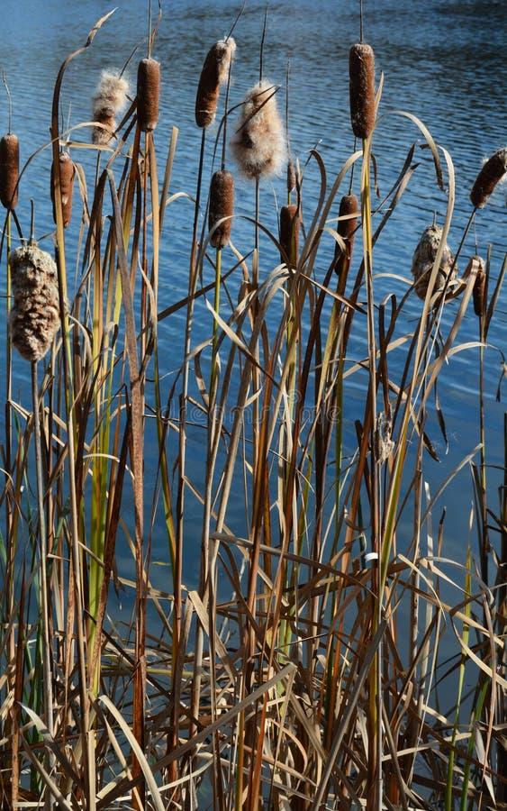 Cattails på dammet i sen höst royaltyfria foton