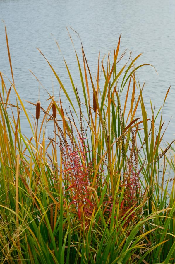 Download Cattails Reeds Grasses Boise Cascade Lake Stock Image - Image of thetinyphotographer, brown: 103619317