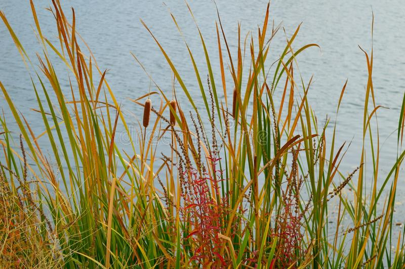 Download Cattails Reeds Grasses Boise Cascade Lake Stock Image - Image of reeds, nature: 103619373