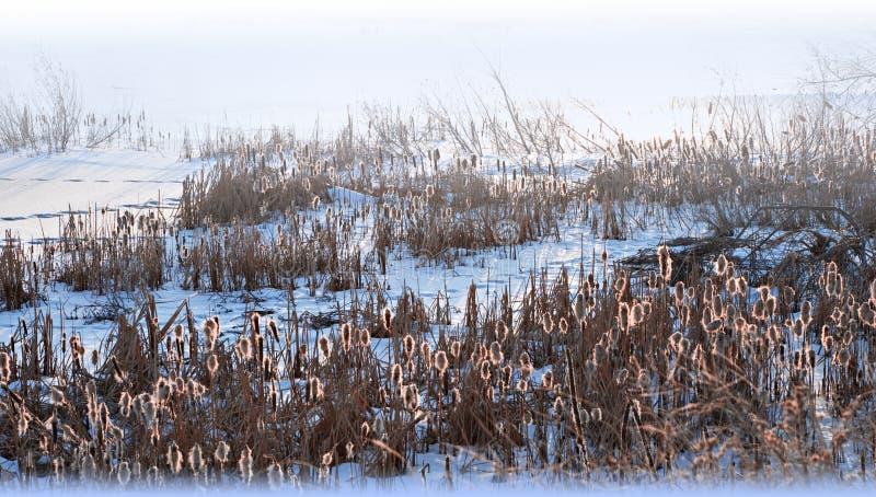 Cattails retroiluminados en nieve imágenes de archivo libres de regalías
