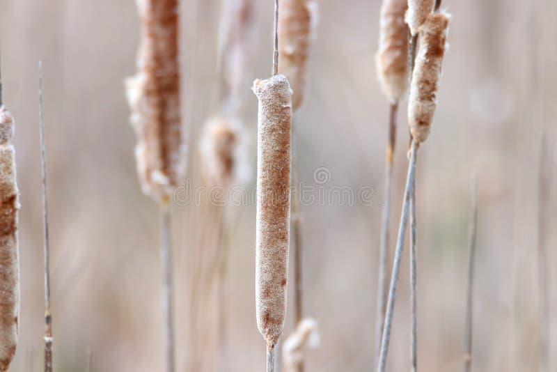Cattails secs dans le marais image libre de droits