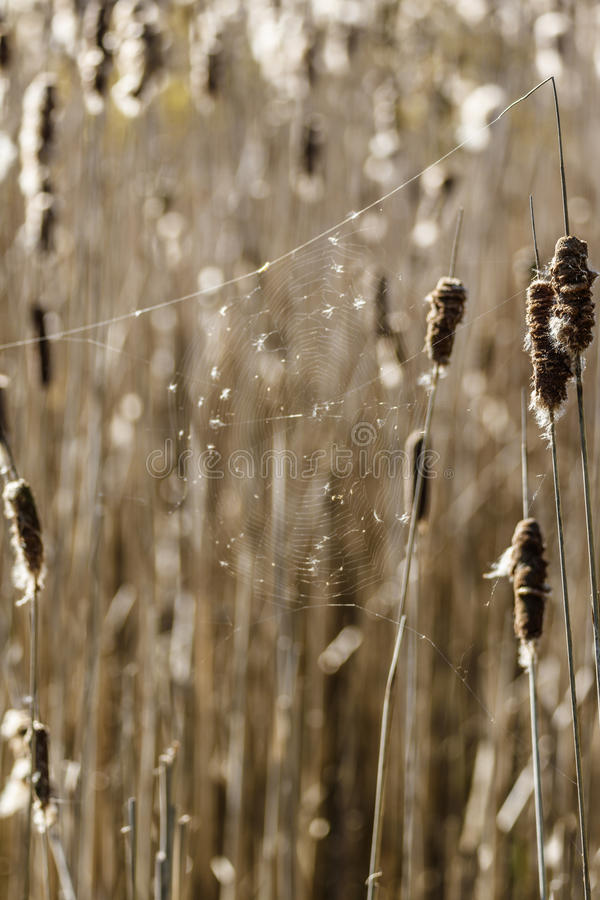 Download Cattails In A Wetland With A Spider Web Stock Image - Image of botanical, bulrush: 92504705