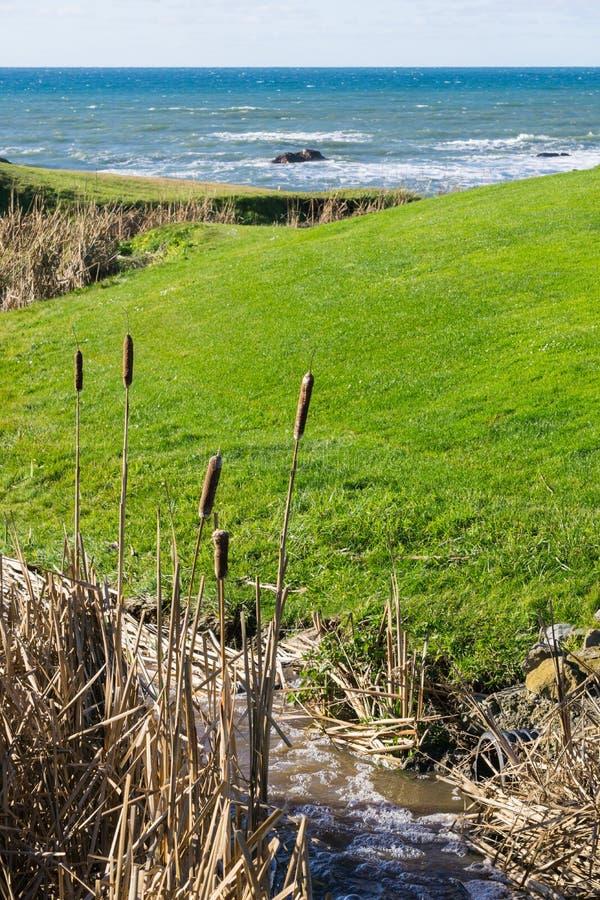 Cattailväxt på Stilla havetkusten, Half Moon Bay, Kalifornien arkivfoto