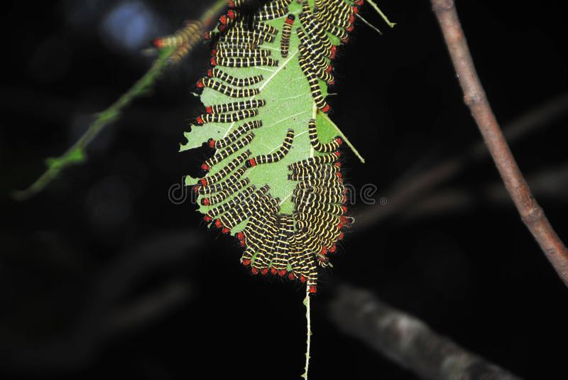 Catterpillars devouring a leaf. A bunch of caterpillars devouring a leaf stock image