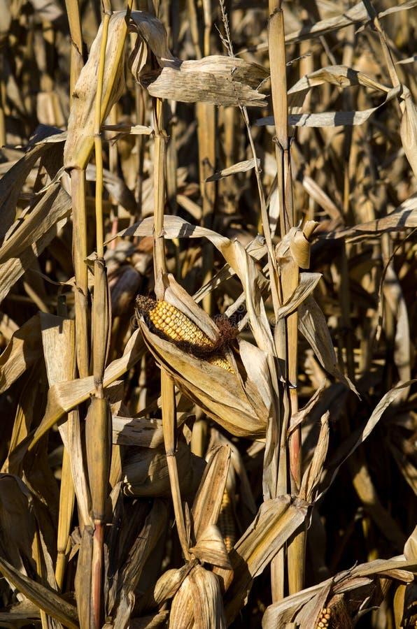 Cattivo cereale, anno asciutto immagine stock