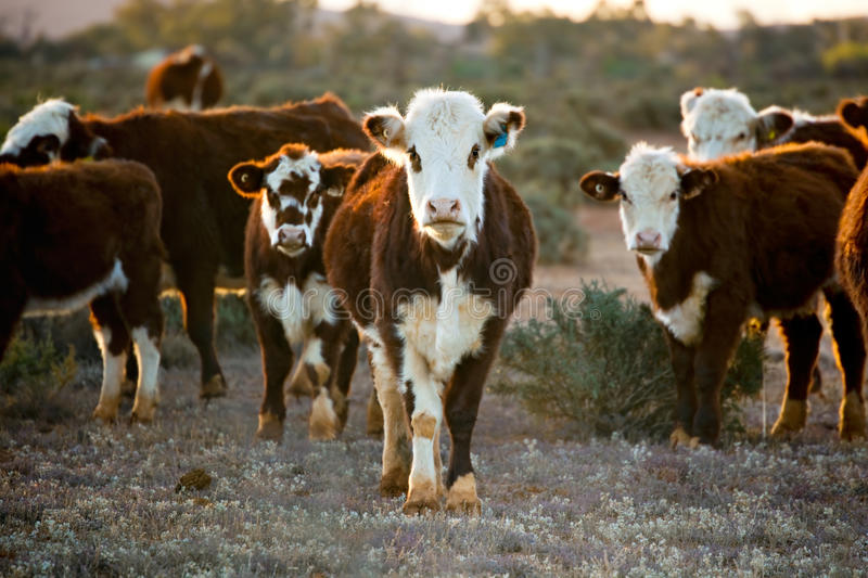 Cattle. Grazing in desert pasture. Outback New South Wales, Australia, at sunset stock photo