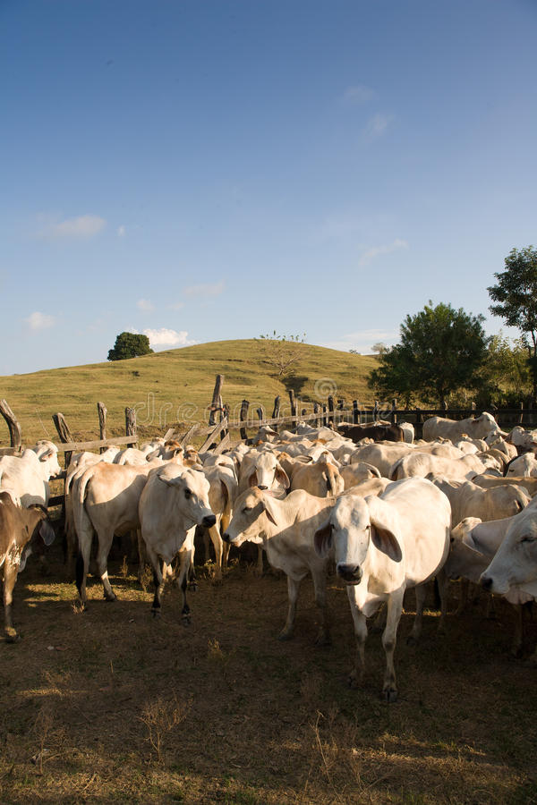 Cattle. Herd of cattle awaiting in a pen stock photography