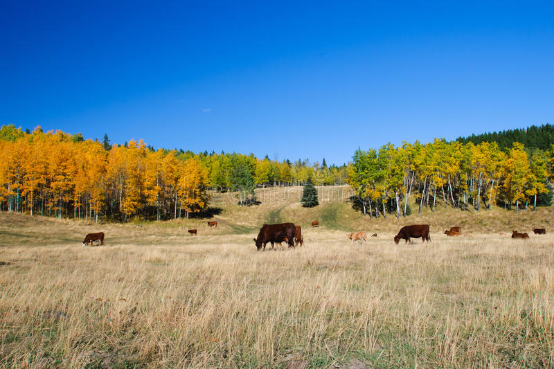 Cattle. Grazing in a mountain pasture in fall stock photography