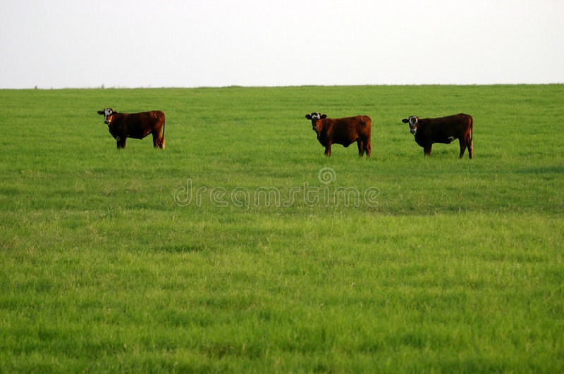 Cattle stock photos