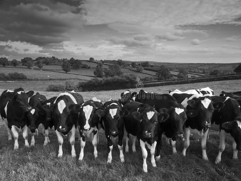 Cattle. Against a black and white landscape royalty free stock images
