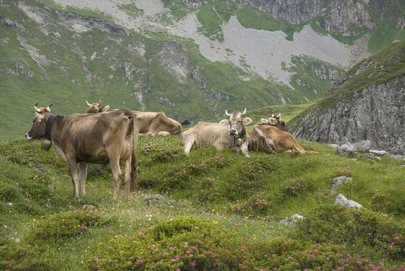 Download Cattle in alps stock image. Image of montafon, alpine - 15786741