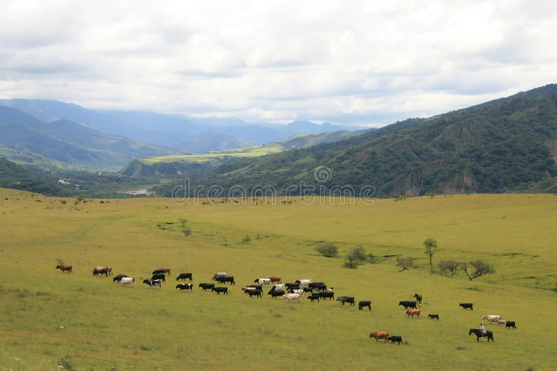 Download Cattle in Argentina stock photo. Image of cattle, landscape - 4298200