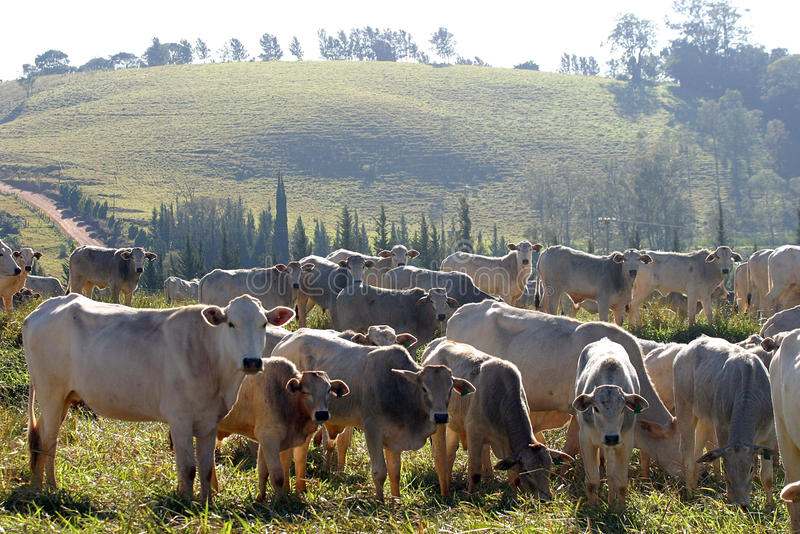 Cattle. Beef cattle in feedlot on farm, brazil royalty free stock photo