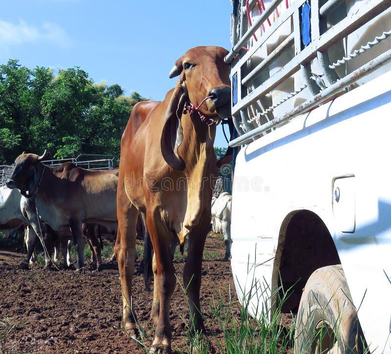 Farmer`s cattle stock images