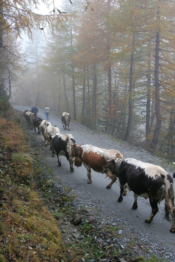 Cattle Breeding Stock Image