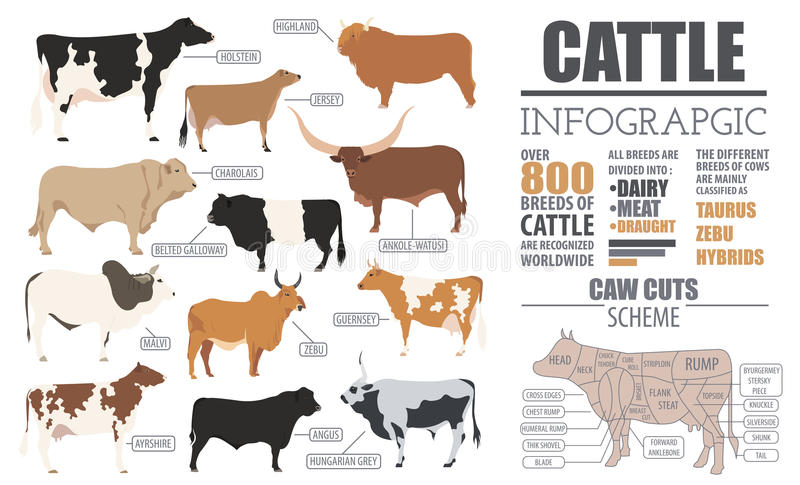 Cattle breeding infographic template. Flat design royalty free illustration