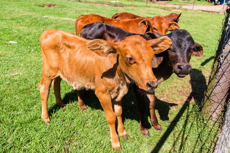 Cattle Calves Animals. Cattle animal calves new born beef stock farming in safety pen closeup stock photos