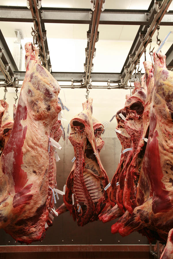 Free Cattle Carcass Maturing In A Refrigerator Royalty Free Stock Photos - 29898338