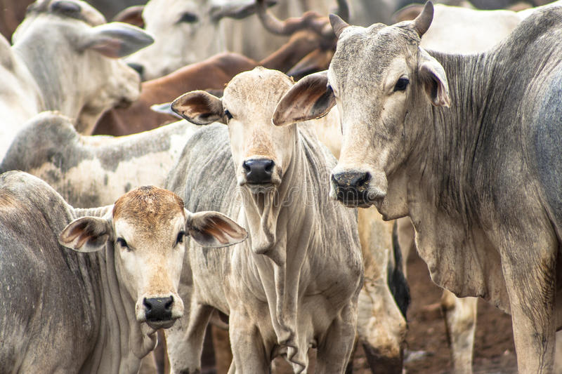 Cattle in confinement. A group of cattle in confinement in Brazil stock photo