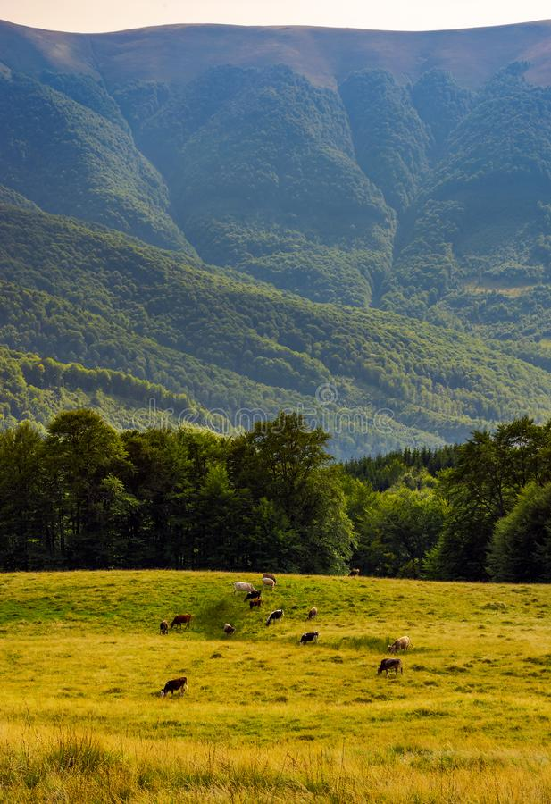 Cattle of cow grazing at the foot of Apetska mount stock photo