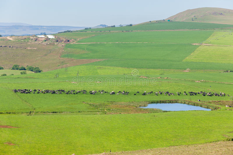 Cattle Dairy Farmlands. Cattle dairy animals farming summer green fields royalty free stock images