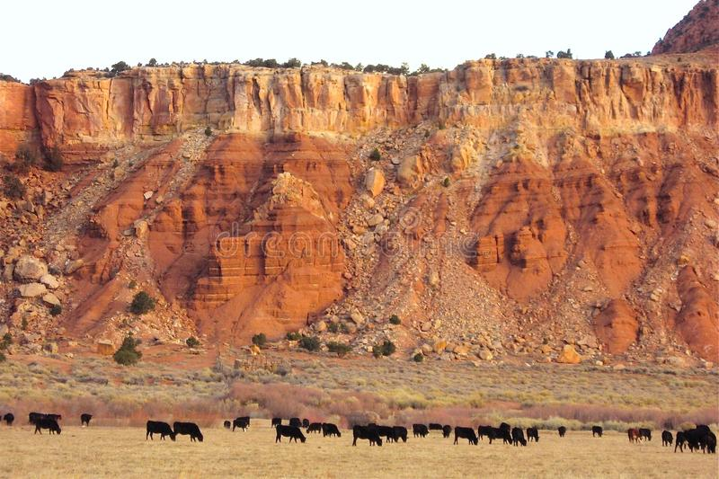 Cattle in Desert Pastures royalty free stock image