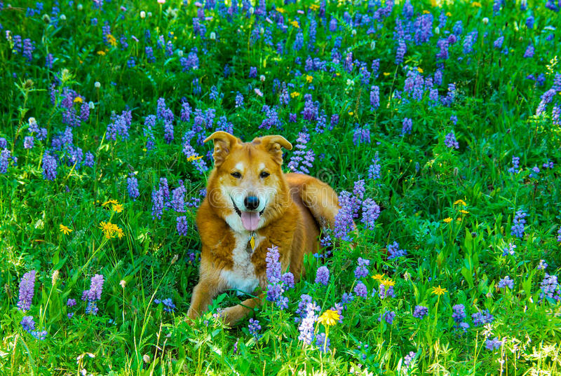 Cattle dog in wildflowers stock photography