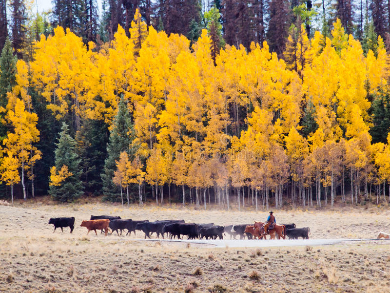 Cattle Drive. By two cowboys in Colorado royalty free stock photography
