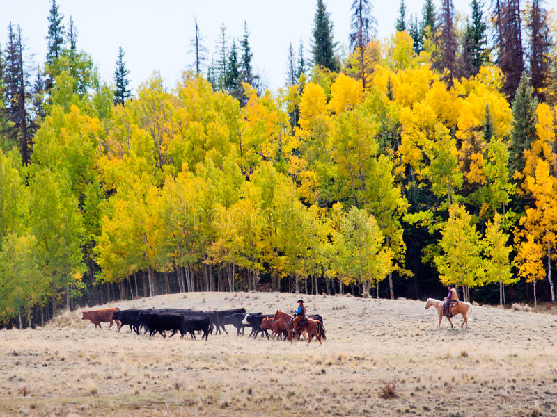 Cattle Drive. By two cowboys in Colorado stock image