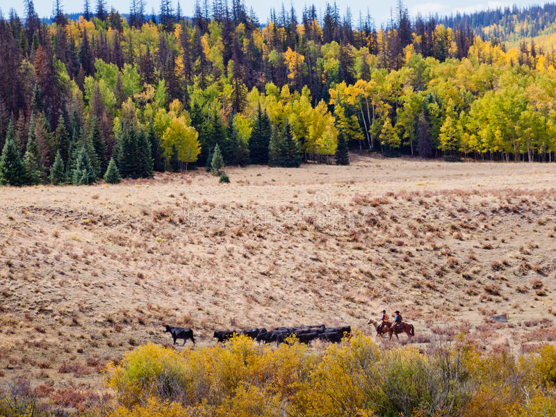 Download Cattle Drive stock image. Image of drive, farm, group - 33486453