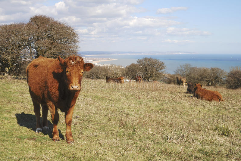 Download Cattle At Eastbourne. East Sussex. England Stock Photo - Image: 24273818